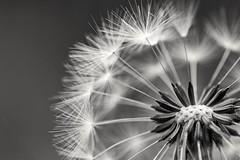 Blick ins Innere (Perspektivenwechsel / Fotografie Sabine Werfel) Tags: natur nature blume pusteblume dandelion nahaufnahme makro monochrom monochrome schwarzweis blackandwhite