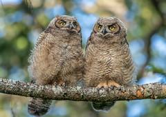 Great Horned Owlet siblings (RebelRob) Tags: britishcolumbia birds birdwatching birdsofprey greathornedowl owls bubovirginianus vancouverisland victoriabc raptors