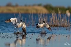 Light landing (wildonephotography) Tags: avocets birding landing light camargue beauty elegance water wings