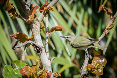 Fort De Soto Park Red-eyed Vireo 04-20-2019 (Jerry's Wild Life) Tags: florida fortdesoto fortdesotopark ftdesoto ftdesotopark pinellascounty pinellascountypark revi redeyed redeyedvireo songbird songbirds vireo vireoolivaceus