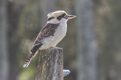Laughing Kookaburra (Merrillie) Tags: kingfisher australia natural wildlife feathers bokeh nature bird portstephens outdoors fauna kookaburra native laughingkookaburra animal