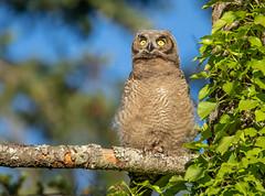 Great Horned Owl glare (RebelRob) Tags: britishcolumbia birds birdwatching birdsofprey greathornedowl owls bubovirginianus vancouverisland victoriabc raptors