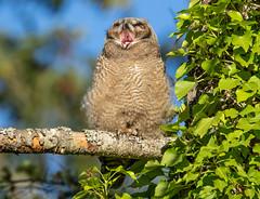 Great Horned Owl yawn (RebelRob) Tags: britishcolumbia birds birdwatching birdsofprey greathornedowl owls bubovirginianus vancouverisland victoriabc raptors