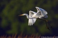 Great White Egret in flight I39634 (wildlifetog) Tags: great wild wildlife wings white egret blackmore britishisles bird birds british brading mbiow martin marshes isleofwight inflight uk rspb
