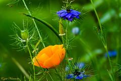 Bouquet printanier (Ezzo33) Tags: nammour ezzat ezzo33 france aquitaine 33 bordeaux parc jardin sony rx10m3 fleur fleurs flawer flawers rouge red mauve pink rose yelow jaune wihte blanc bleu bleue réserve pavotjaune coqueliquot nigellededamas