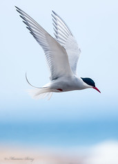 Arctic Tern 19-May-19 M_004 (gomo.images) Tags: 2019 artictern bird country moray nature scotland speybay years