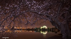 Flower 2019 Cherry Blossom 18a (zwzzjim) Tags: outdoor cherry blossom waterfront lake washington festival tree water flowers landscape park sunrise sunlight flower spring dc washingtondc