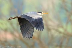 Grey Heron in flight I38255 (wildlifetog) Tags: grey heron isleofwight inflight blackmore britishisles bird birds british brading mbiow martin marshes rspb wild wildlife