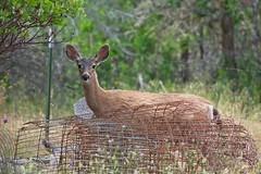 Oh Deer - HFF! (JSB PHOTOGRAPHS) Tags: jsb9273 hff fence fencefriday deer nikon d800 28300mm