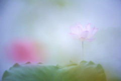 幻 荷 (Wilson Au | 一期一会) Tags: eos5dmarkiii ef70200mmf4lisusm canon macau macao flower lotus blur atmosphere light shallowdepthoffield china