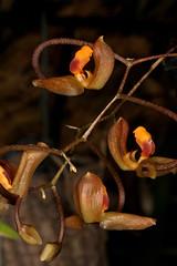 Gongora batemanni (syn Gongora cassidea) 2019-05-09 01 (JVinOZ) Tags: orchid orchidspecies gongora