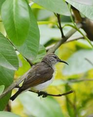 IMG_20190608_104833 (Debasish Pramanik1) Tags: nikon d5200 70300mm debasishpramanik bird gangarampur amritanjanpramanik f4563 mm 70300
