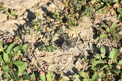 Pyrgus (esta_ahi) Tags: subirats penedès barcelona spain españa испания mariposa papallona butterfly pyrgus hesperioidea hesperiidae pyrginae lepidoptera insectos fauna