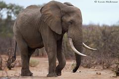 Jumbo (leendert3) Tags: leonmolenaar wildlife southafrica krugernationalpark wilderness wildanimal mammal africanelephant ngc npc naturethroughthelens