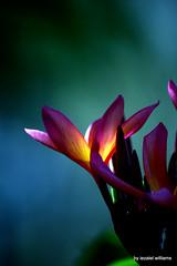 Pink plumeria flower by iezalel williams - IMG_5675-011 - Canon EOS 700D (iezalel7williams) Tags: photo pink plumeria tropicalplant tropical nature canoneos700d closeup colorful flower flora beautiful photography plant bluegreentone botany beauty bokeh orange yellow love floral light