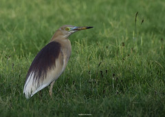 The Indian Pond Heron (mkumar.photographer001) Tags:
