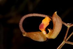 Gongora batemanni (syn Gongora cassidea) 2019-05-09 02 (JVinOZ) Tags: orchid orchidspecies gongora