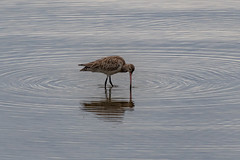 Bar-tailed godwit - migratory birds in the river (Merrillie) Tags: waterbirds natural nature australia birds tilligerrycreek native animal portstephens wildlife bartailedgodwit pair bird animals fauna mallabula migratory karuahriver
