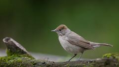 Blackcap (female) (Jongejan) Tags: blackcap bird animal wildlife forest nature wood outdoor outside ornithology