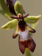 Ophrys mouche (Ophrys insectifera) (photopoésie) Tags: orchidacées ophrysinsectifera