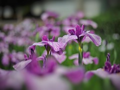 Purple world (Kito K (fxkito2)) Tags: flower japan dof tokyo fineart bokeh lumix olympus nature color omd iris