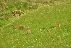 Over the fields and far away...... (Bob Silver ☺) Tags: fox cub cubs