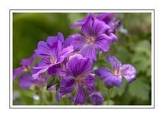 Hardy geranium (Audrey A Jackson) Tags: canon60d flower hardygeranium blue garden nature petals macro closeup