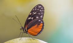 Hosszúszárnyú tigrislepke (Heliconius hecale) (Torok_Bea) Tags: hosszúszárnyútigrislepke heliconiushecale heliconius beautiful butterfly nikon nikond7200 natur nature sigma150mm nymphalidae lepidoptera lepke lovely