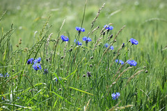Les bleuets (Croc'odile67) Tags: nikon d3300 sigma contemporary 18200dcoshsmc fleurs flowers nature champ
