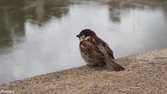 Pardal italià,  Gorrión italiano,  Italian Sparrow,  (Passer italiae) (Francesc Farran) Tags: pajaros pájaro birdphotography naturephotography ornitologia ocells gorrion aves animales animal roma zoologia