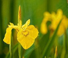 Iris jaune, des marais - Iris pseudacorus (olivier.amiaud) Tags: iris fleur marais étang mai vivace rhizome jaune yellow flower iridacée green feuille vert