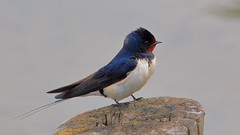 Barn Swallow (G3nie) Tags: canoneos1100d ef70300mmf456isusm aspectratio169 finland barn swallow bird seabird nature wild wildlife pole sea ocean water waterfront animal