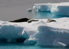 Crabeater Seals resting on ice flow (Paul Cottis) Tags: weddellsea antarctica ice iceberg ocean 1 february 2019 feb paulcottis seal pinniped marine mammal blue sky