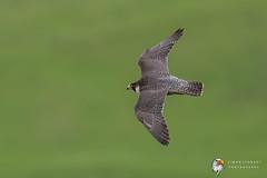 Peregrine Falcon (Simon Stobart) Tags: peregrine falcon falco peregrinus flying north england uk