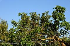 © •  Walnussbaum und Berg-Ahorn • (M.A.K.photo) Tags: bergahorn acerpseudoplatanus juglansregia walnussbaum birke betula birch bäume baum sommer hessen germany deutschland walnootboom esdoorn berk