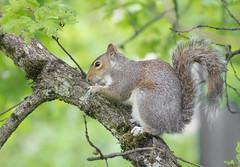 Snack time. (Omygodtom) Tags: wildlife squirrel portrait tree outside nikkor natural nikon nikon70300mmvrlens usgs ngs silhouette food flickriver