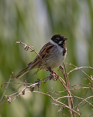 Reed Bunting (Helmuth of Boskone) Tags: emberizaschoeniclus june sywell bird countrypark morning reedbunting reeds northampton england unitedkingdom
