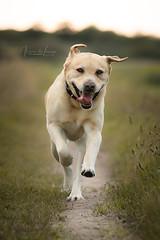 Diesel (Ilona-de-Lange) Tags: canoneos80d canonef70200mmf28lisiiusm dier dog dogphotography hond hondenfotografie