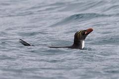 Macaroni Penguin swimming calmly on the surface (Paul Cottis) Tags: cooperbay southgeorgia southatlantic ocean sea penguin macaroni paulcottis swim swimming 28 january 2019 jan pinguino