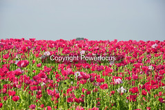 Agri poppies (powerfocusfotografie) Tags: poppy poppies flowers pink henk nikond90 powerfocusfotografie