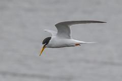 Birds_Little Turn_023 (billnharris228) Tags: birds inflight keyhaven littleturn