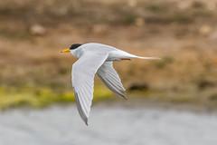 Little Turn (billnharris228) Tags: birds inflight keyhaven littleturn