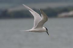 Sandwich Turn (billnharris228) Tags: birds inflight keyhaven sandwichturn