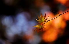 sapporo 694 (kaifudo) Tags: sapporo hokkaido japan botanicalgarden 札幌 北海道 北大植物園 もみじ 紅葉 春もみじ 五月の紅葉 nikon d810 sigmaapomacro150mmf28 sigma 150mm