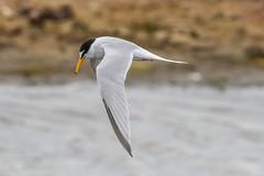 Birds_Little Turn_031 (billnharris228) Tags: birds inflight keyhaven littleturn