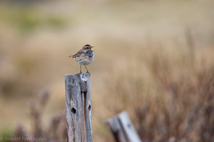 Blåstrupe - Bluethroat-2.jpg (Robert Fredagsvik - Norway) Tags: norway dovre grønbakken blåstrupe bluethroat mountainbirds birds mountain fuglernorge birdsnorway vögel norwegen norge vögelnorwegen norwegiannature canon ©robertfredagsvik robertfredagsvik amazing amazingbirds