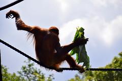 Slinking Along (Keith Mac Uidhir 김채윤 (Thanks for 8m views)) Tags: orang utan orangutan primate monkey ape animal dublin zoo ireland irish borneo malaysia malaysian indonesia indonesian