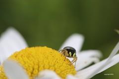 Heliophanus (Phil Arachno) Tags: hessen germany insecta canon eos80d arthropoda