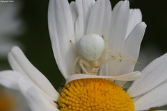 double white (Phil Arachno) Tags: hessen germany spider spinne arthropoda thomisidae arachnida chelicerata niederems