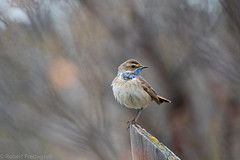 Blåstrupe - Bluethroat.jpg (Robert Fredagsvik - Norway) Tags: norway dovre grønbakken blåstrupe bluethroat mountainbirds birds mountain fuglernorge birdsnorway vögel norwegen norge vögelnorwegen norwegiannature canon ©robertfredagsvik robertfredagsvik amazing amazingbirds